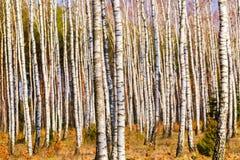 Ciérrese para arriba de troncos de los árboles de abedul en bosque del abedul Imagen de archivo
