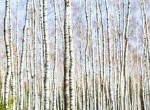 Ciérrese para arriba de troncos de los árboles de abedul en bosque del abedul Imágenes de archivo libres de regalías