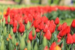 Ciérrese para arriba de tulipanes rojos al lado de los tulipanes amarillo-naranja que son rea Fotografía de archivo
