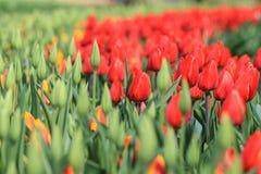 Ciérrese para arriba de tulipanes rojos al lado de los tulipanes amarillo-naranja que son rea Fotografía de archivo libre de regalías