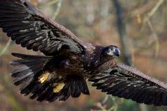 Ciérrese para arriba de un águila calva no madura que muestra su ojo cubierto por una membrana nictitante como ella los flys cerc foto de archivo