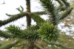 Ciérrese para arriba de un árbol agudo puntiagudo en el parque del Lister en Bradford England Foto de archivo