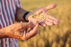 Ciérrese para arriba de un agrónomo mayor o de semillas de examen del trigo del granjero en su palma imagenes de archivo