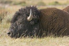 Ciérrese para arriba de un bisonte en los llanos Fotografía de archivo libre de regalías