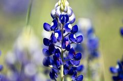 Ciérrese para arriba de un bluebonnet hermoso imagen de archivo libre de regalías