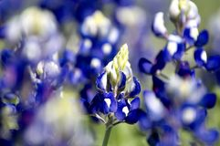 Ciérrese para arriba de un bluebonnet hermoso imagen de archivo