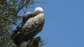 Ciérrese para arriba de un buitre de los ruppell encaramado en un árbol en el juego de Mara del masai almacen de video