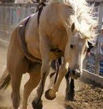 Ciérrese para arriba de un caballo color nata que galopa a lo largo de una cerca en la venta Bucking del caballo en Miles City Mo imágenes de archivo libres de regalías