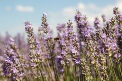 Ciérrese para arriba de un campo de la lavanda con una abeja de la miel apenas que sale de una flor Foto de archivo libre de regalías