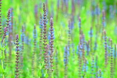 Ciérrese para arriba de un campo hermoso de la lavanda de la flor imágenes de archivo libres de regalías