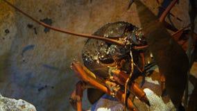 Ciérrese para arriba de un cangrejo almacen de metraje de vídeo
