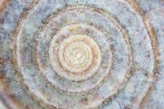 Ciérrese para arriba de un caracol de mar Imagenes de archivo
