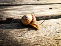 Ciérrese para arriba de un caracol que se escabulle en un tablón de madera Fotos de archivo libres de regalías