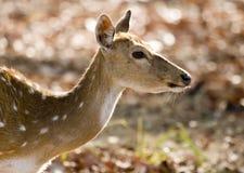 Ciérrese para arriba de un ciervo manchado femenino Imágenes de archivo libres de regalías