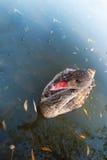 Ciérrese para arriba de un cisne negro juvenil, aún en el plumaje marrón, nadando en el lago en un día soleado hermoso Imágenes de archivo libres de regalías
