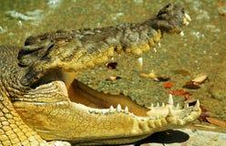 Ciérrese para arriba de un cocodrilo del agua salada Imagenes de archivo