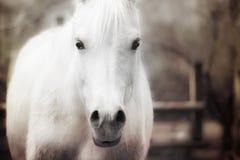 Ciérrese para arriba de un efecto del vintage del caballo blanco Fotografía de archivo