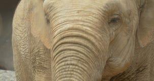 Ciérrese para arriba de un elefante almacen de video