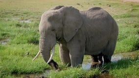 Ciérrese para arriba de un elefante africano grande con un tronco vierte fango en su cabeza almacen de video