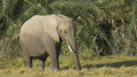 Ciérrese para arriba de un elefante que alimenta delante de hojas de palma en Amboseli almacen de video