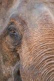 Ciérrese para arriba de un elefante tailandés en Chiang Mai, Tailandia fotos de archivo libres de regalías
