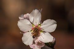 Ciérrese para arriba de un flor de la almendra con una abeja Imagen de archivo libre de regalías