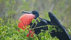 Ciérrese para arriba de un frigatebird magnífico masculino en lobos del isla en los galalagos almacen de metraje de vídeo