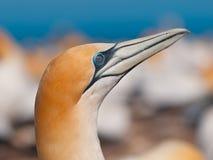 Ciérrese para arriba de un gannet australasian Fotos de archivo
