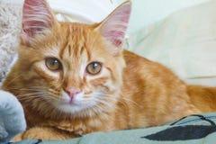 Ciérrese para arriba de un gato anaranjado Imagenes de archivo