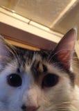 Ciérrese para arriba de un gato de pelo largo blanco y negro Imagen de archivo libre de regalías