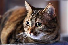 Ciérrese para arriba de un gato nacional foto de archivo libre de regalías