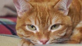 Ciérrese para arriba de un gato rojo relajado metrajes