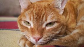 Ciérrese para arriba de un gato rojo relajado almacen de video