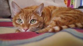 Ciérrese para arriba de un gato rojo relajado almacen de metraje de vídeo