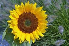 Ciérrese para arriba de un girasol amarillo grande en la luz del sol en el campo de flor Imagenes de archivo
