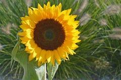 Ciérrese para arriba de un girasol amarillo grande en la luz del sol en el campo de flor Imágenes de archivo libres de regalías