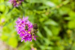 Ciérrese para arriba de un insecto de los himenópteros de la orden Foto de archivo libre de regalías