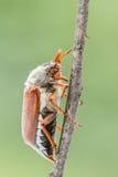Ciérrese para arriba de un Junebug Imagen de archivo libre de regalías