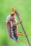 Ciérrese para arriba de un Junebug Foto de archivo libre de regalías