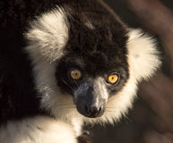 Ciérrese para arriba de un lémur superado blanco y negro Fotografía de archivo libre de regalías
