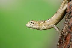 Ciérrese para arriba de un lagarto amarillo con el fondo verde Imagen de archivo