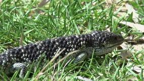 Ciérrese para arriba de un lagarto del shingleback que camina a través de la hierba en Australia occidental almacen de video