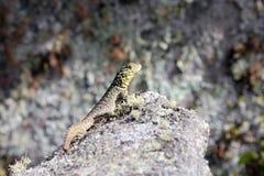 Ciérrese para arriba de un lagarto en una roca Foto de archivo