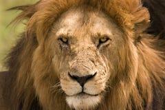 Ciérrese para arriba de un león fotos de archivo