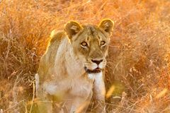 Ciérrese para arriba de un león africano femenino que oculta en hierba larga en un Sout foto de archivo