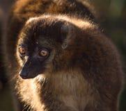 Ciérrese para arriba de un lemur Fotos de archivo