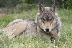 Ciérrese para arriba de un lobo occidental del norte del lobo que se acuesta en la hierba siempre siempre vigilante Foto de archivo