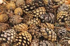 Ciérrese para arriba de un manojo de conos del pino fotografía de archivo libre de regalías