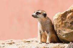 Ciérrese para arriba de un meerkat en una roca Foto de archivo