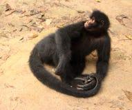 ciérrese para arriba de un mono de araña negro imagen de archivo